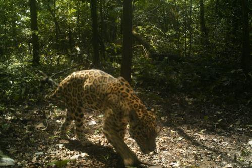 Jaguar captado por cámaras trampa instaladas al interior del Parque Nacional Yaguas, ubicado en el departamento de Loreto, en el nororiente del Perú.
