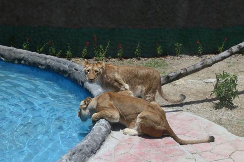Nuevo felinario alberga a leona y su cachorra de 14 meses en zoológico municipal de Huancayo. Foto: Pedro Tinoco