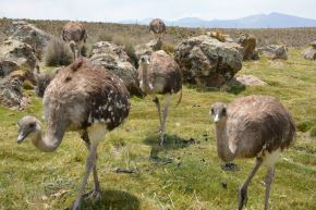 Suris conservados por el Minagri serán reintroducidos a su estado natural en Puno