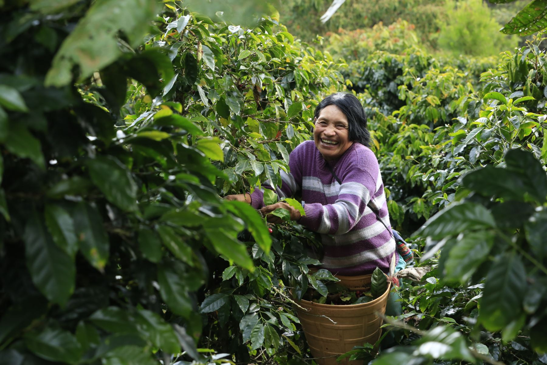 Mafalda Estrada es agricultoras de café en la selva central del Perú, Ella forma parte de la Cooperativa de Mujeres Cafetaleras y del Centro de Innovación Tecnológica (CITE), en Oxapampa, donde se evalúa y selecciona el mejor café en Villa Rica. Foto: ANDINA/Carla Patiño