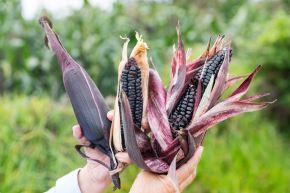 Productores de maíz morado de la región Cajamarca triplican sus cultivos con uso del guano de islas. ANDINA/Difusión