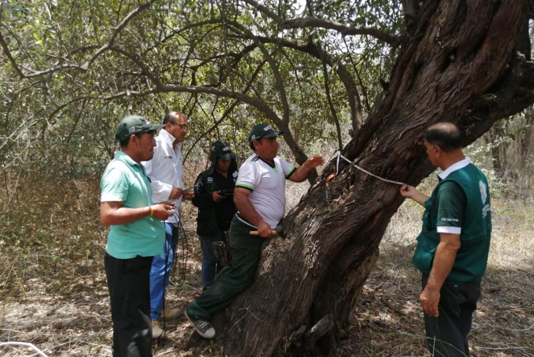 El Ministerio de Agricultura y Riego (Minagri) implementará la primera colección nacional de germoplasma de la especie forestal del algarrobo en la región de Lambayeque, con la finalidad de valorar su diversidad genética y potenciar su conservación.
