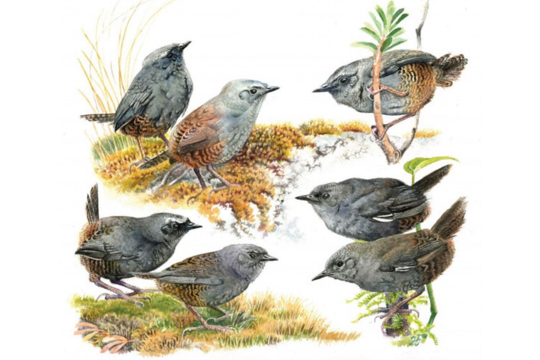 Científicos peruanos y extranjeros descubren tres nuevas especies de aves en áreas naturales protegidas ubicadas en los Andes centrales. ANDINA/Difusión