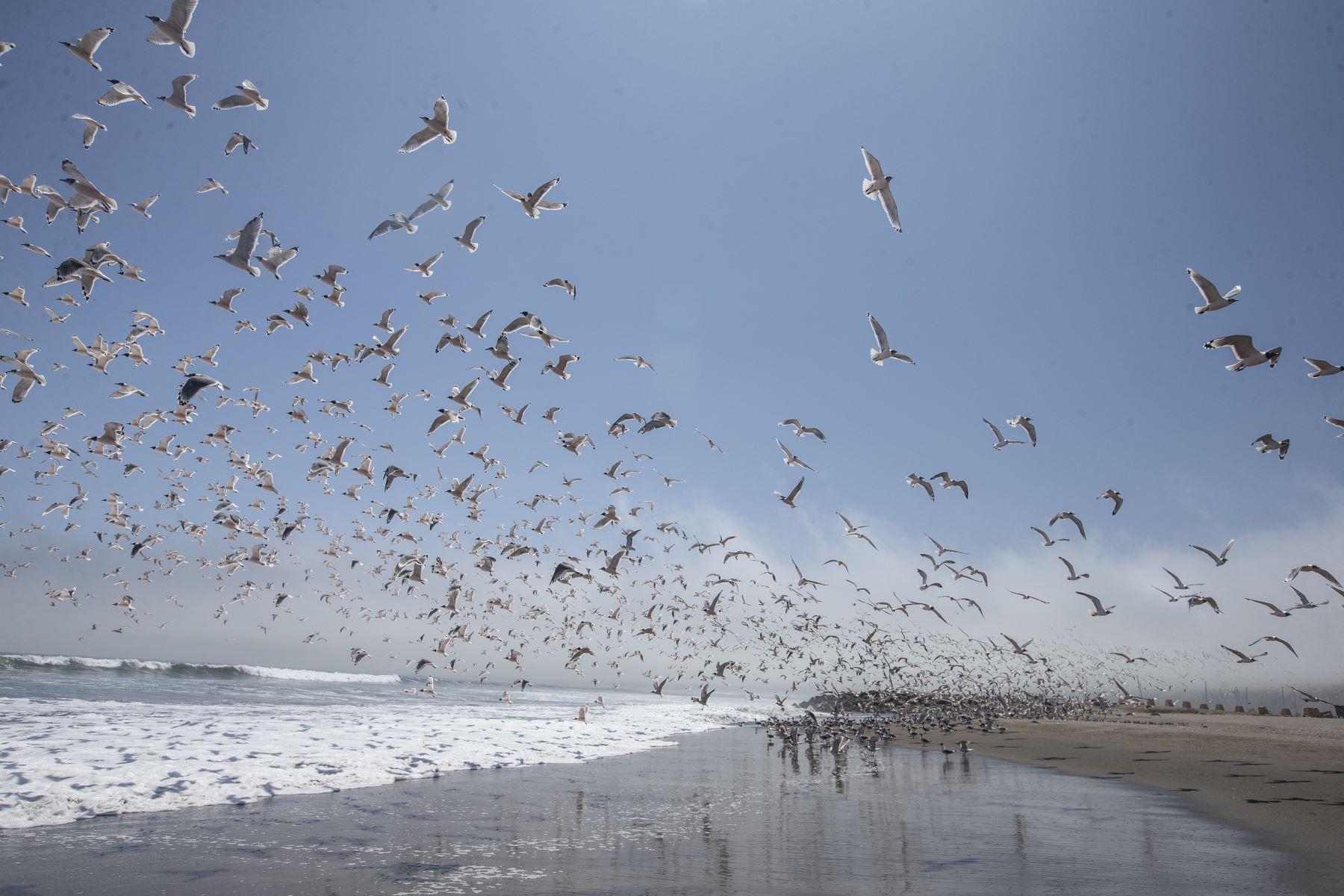 Miles de aves vuelven a las playas Agua Dulce y Sombrillas en la Costa Verde a consecuencia de la ausencia de público por el Estado de Emergencia que obliga a las personas a acatar la cuarentena para frenar el avance del coronavirus Covid-19. Foto: ANDINA/Jhonel Rodríguez Robles