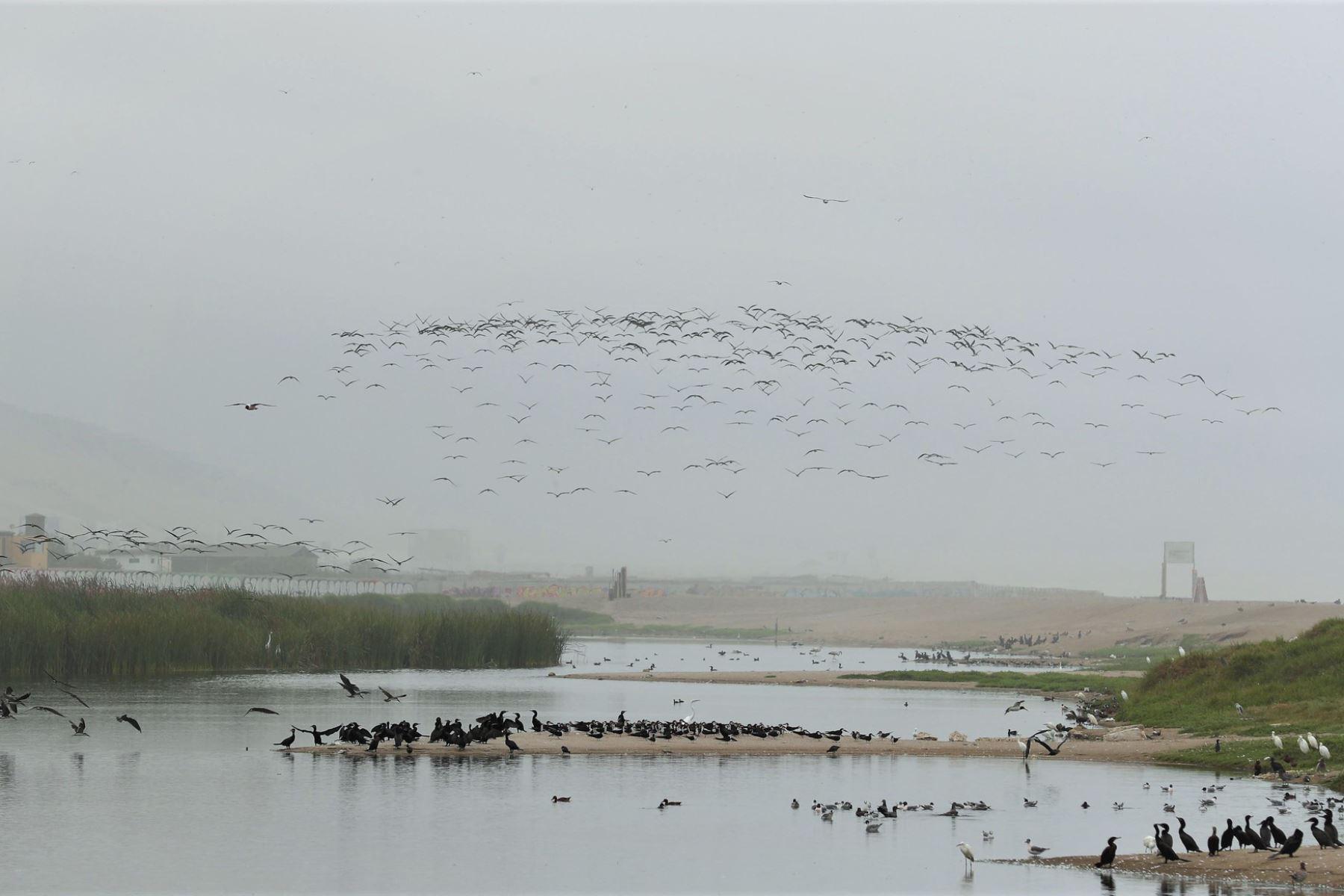 Gaviotas y piqueros vuelven a volar sobre el mar y humedales por ausencia de personas a causa de cuarentena. Foto: ANDINA/difusión.