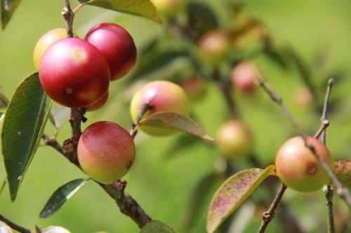 Investigadores del INIA de Loreto desarrollan una nueva variedad de camu camu con alta dosis de vitamina C y alta calidad genética.