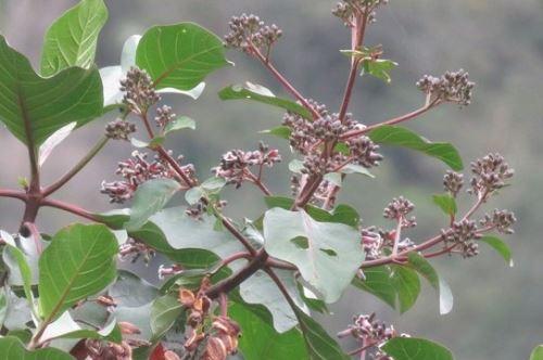 Árbol de la quina, fuente de la quinina.