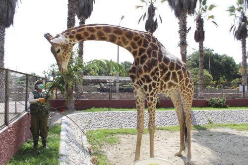 MLM cumple con la alimentación de los animales del parque de las leyendas