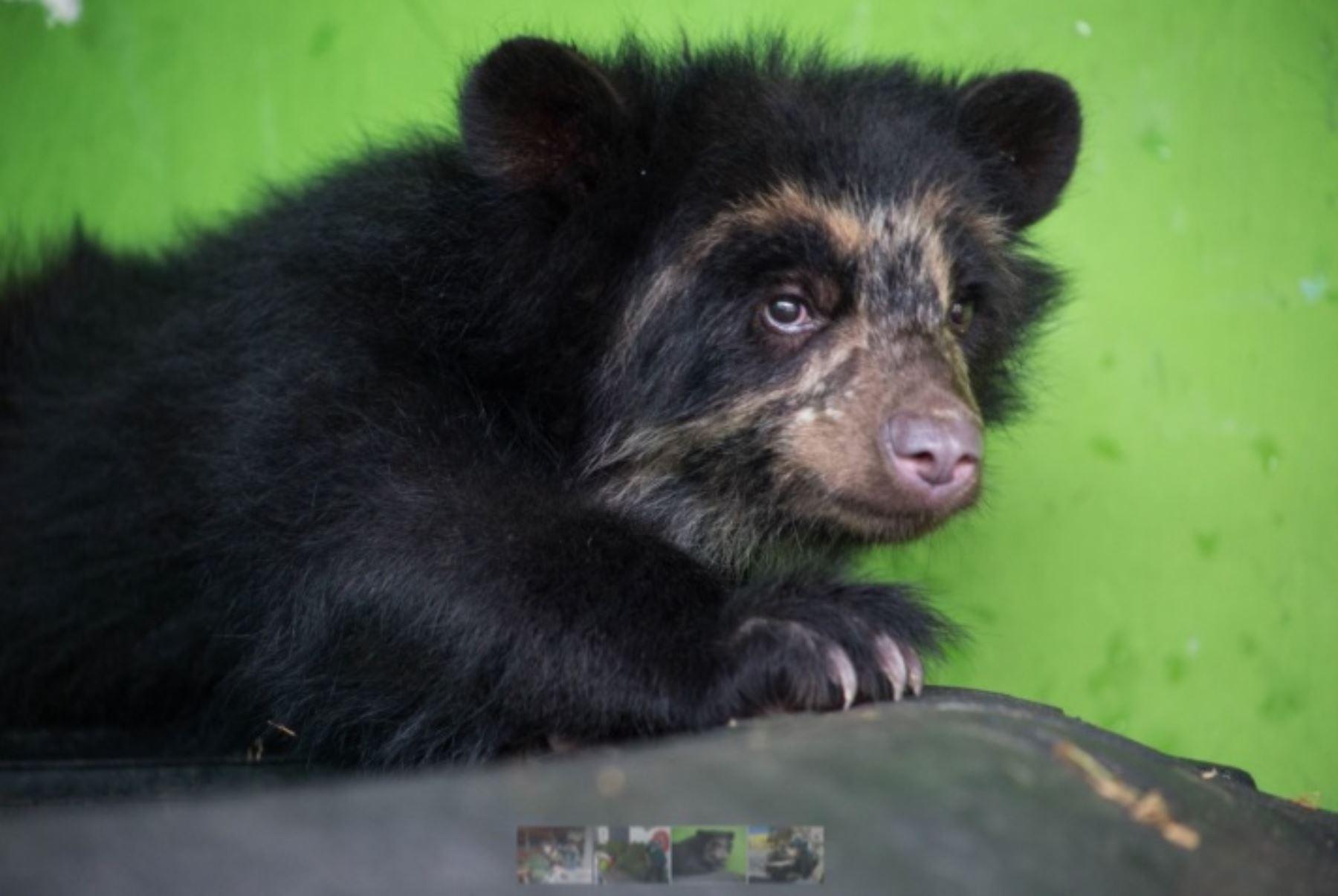 Reserva Nacional Calipuy cumple 40 años conservando especie amenazada de oso de anteojos. ANDINA/Difusión
