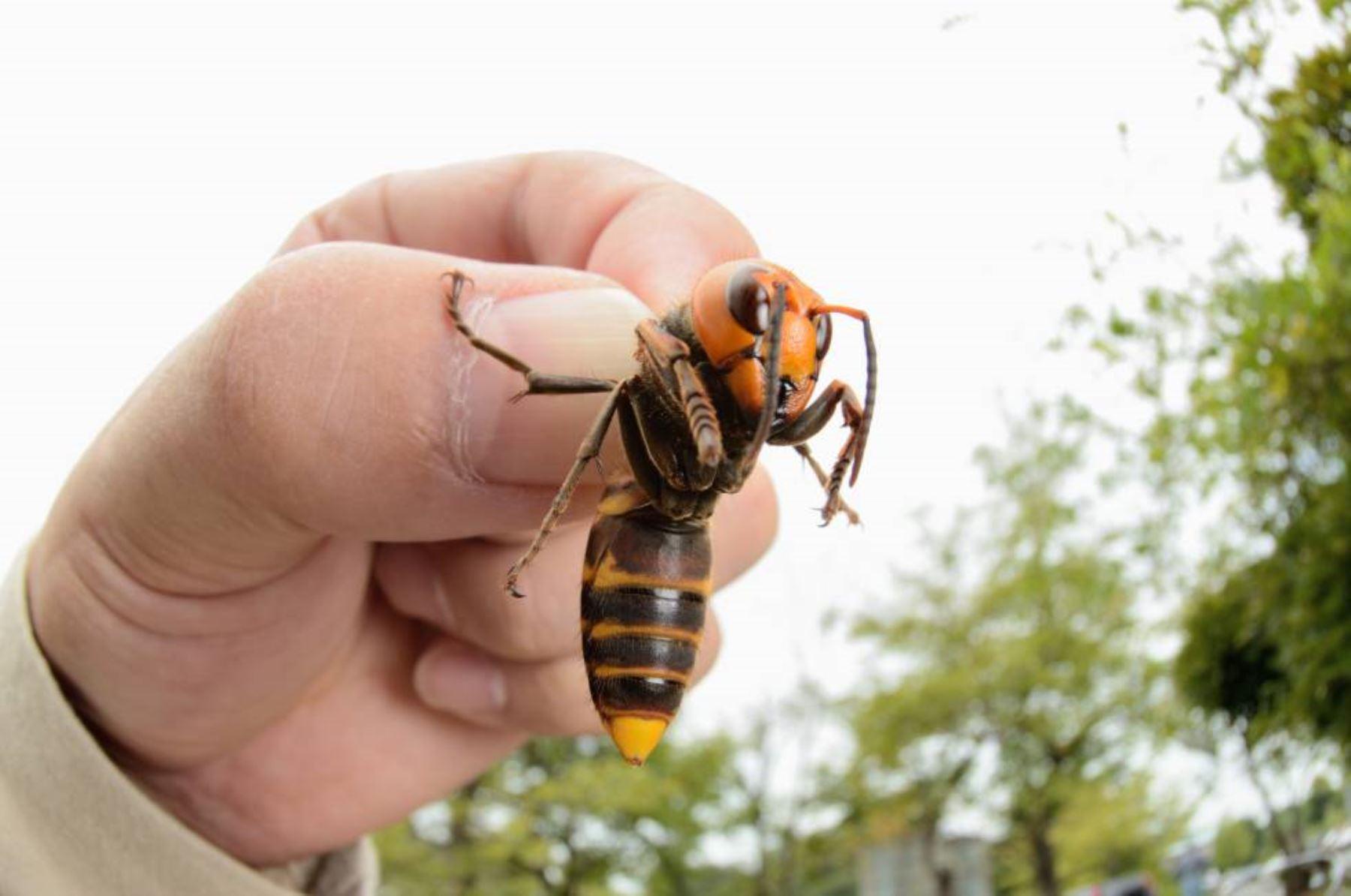 Estos insectos, con ojos enormes y una picadura venenosa, se caracterizan por decapitar a las abejas y llevar su cuerpo acéfalo como comida de sus crías. Foto: Internet