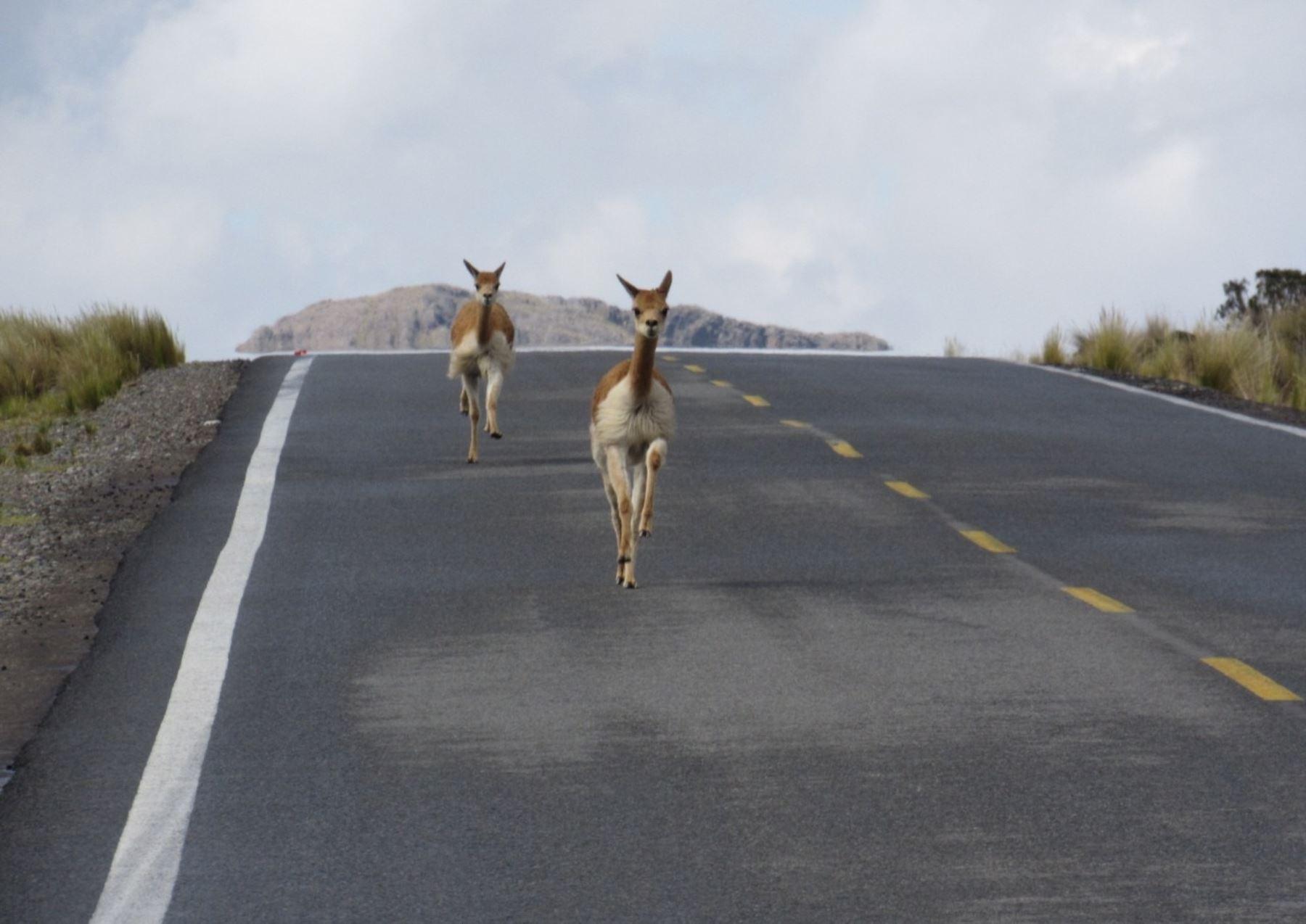 Vicuñas, osos de anteojos y otros animales silvestres caminan tranquilos y se dejan ver en las áreas naturales protegidas de Perú en estos tiempos de cuarentena por el coronavirus.