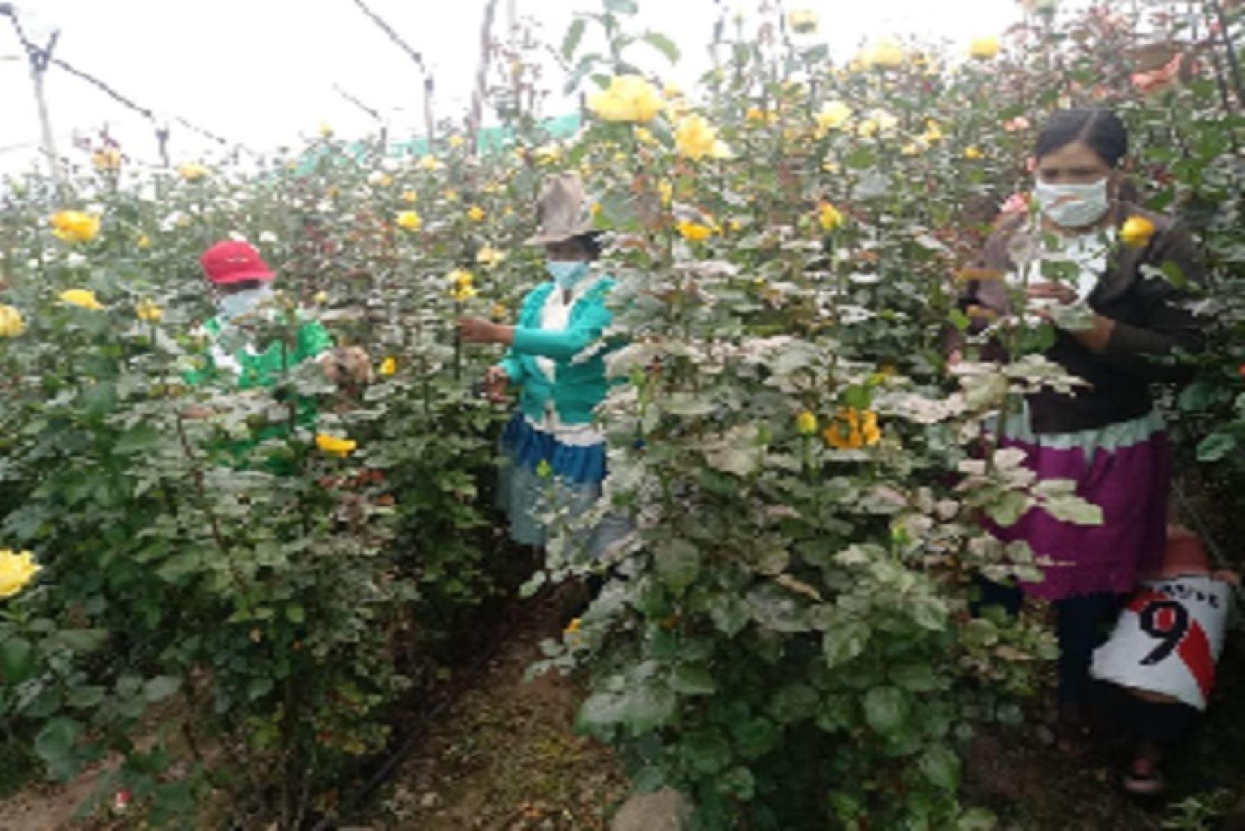 Emprendimientos de Haku Wiñay aumenta ingresos con venta de flores en varias ciudades
