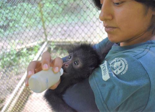Destinan S/ 3.9 millones al Serfor para el cuidado y alimentación de animales silvestres albergados en zoológicos y centros de cría afectados por el coronavirus. ANDINA/Difusión