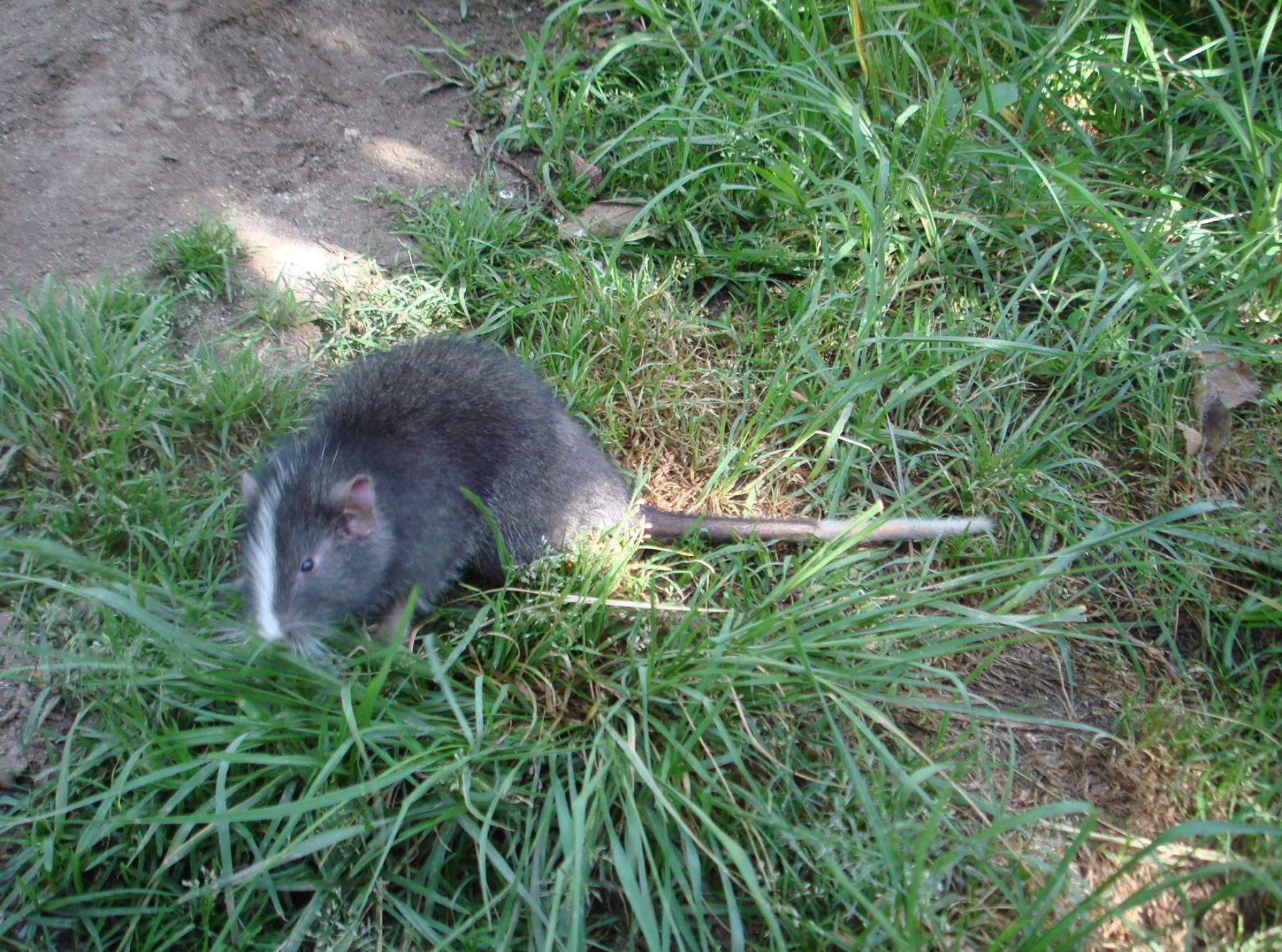 Sernanp reportó el avistamiento de un ejemplar de rata chinchilla arborícola en el Santuario Machu Picchu. La especie se creía extinta y su único registro anterior ocurrió en 2009. ANDINA/Difusión