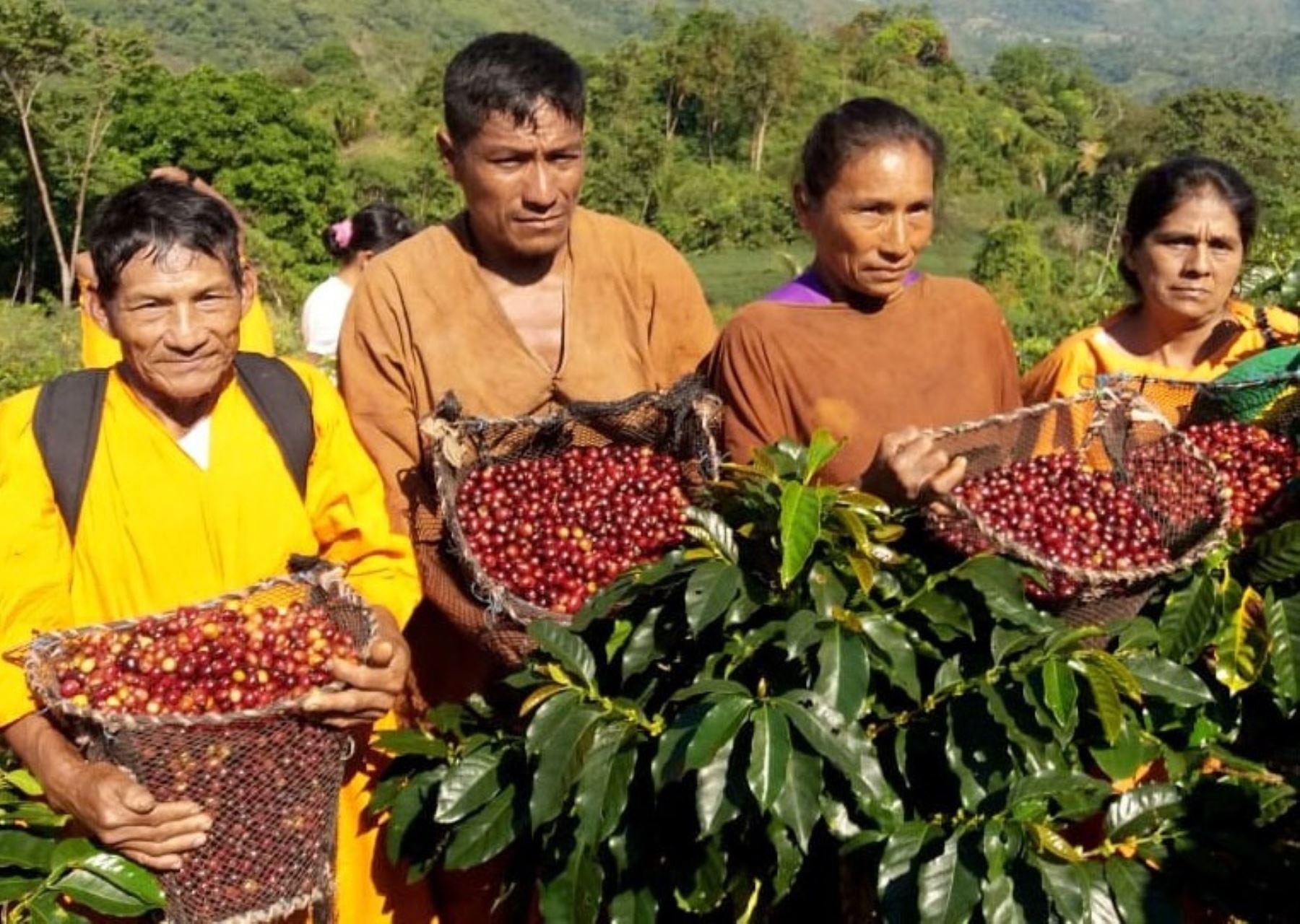 La inversión para mejorar la producción de cafés especiales en el distrito de Pangoa favorecerá también a la población indígena que se dedica a este cultivo. ANDINA/Difusión