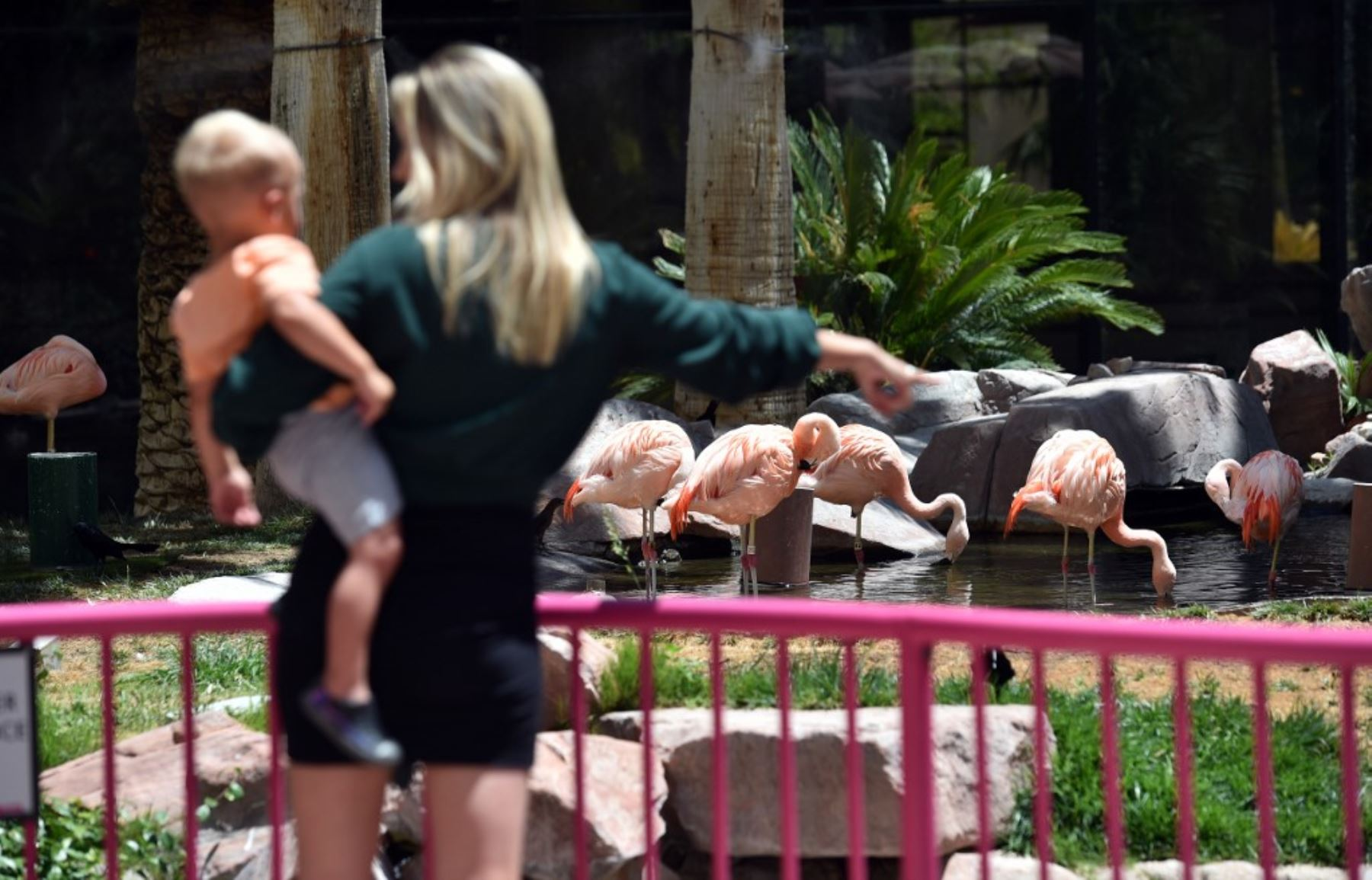 Marissa Kynaston de Nevada muestra a su hijo los flamencos en el Wildlife Habitat en Flamingo, Las Vegas. Foto: AFP