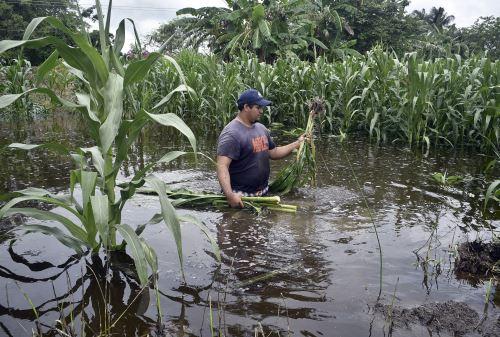 Un campesino revisa su cosecha de maíz inundada, este jueves en la ciudad de Villahermosa, en el estado de Tabasco(México). Foto: EFE