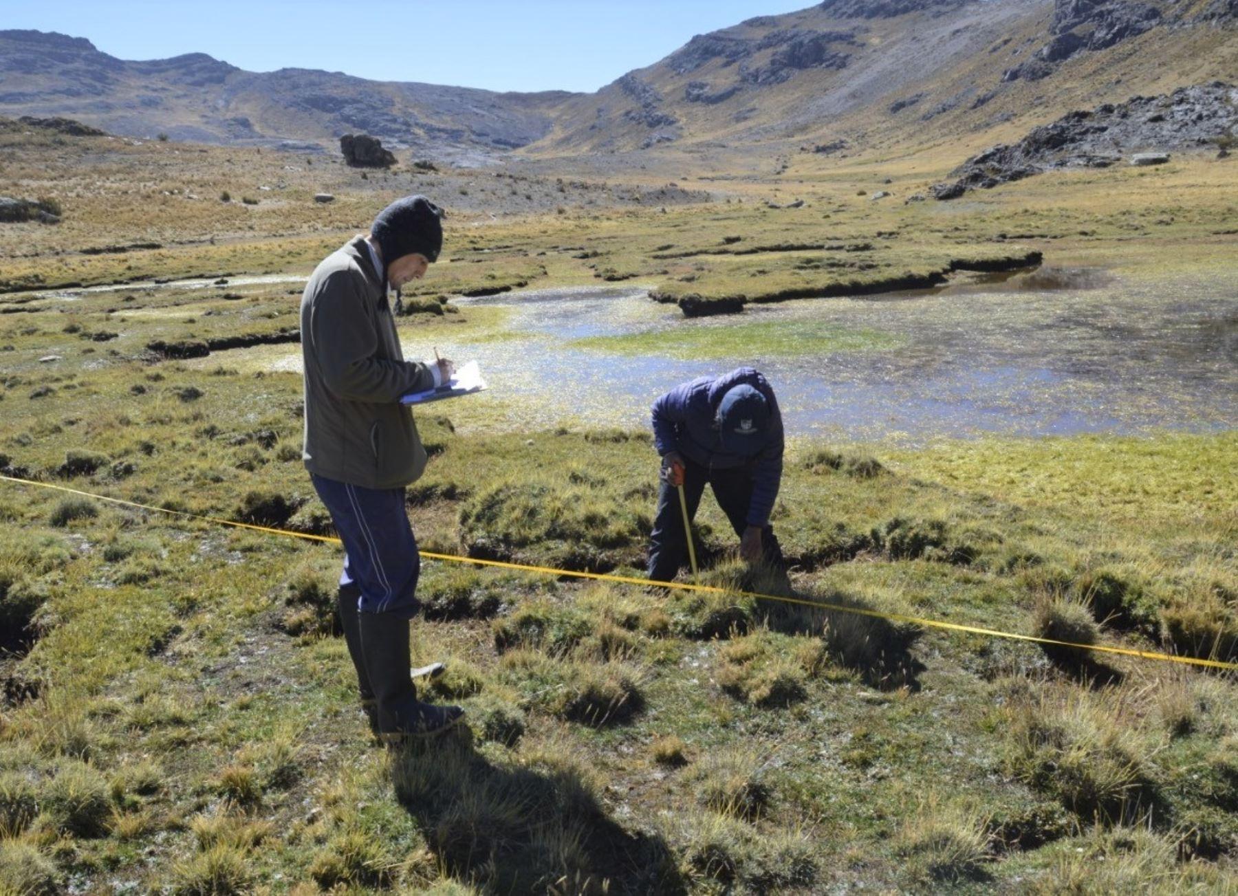 Una investigación científica descubrió en Áncash que plantas nativas altoandinas ayudan a regenerar suelos contaminados por el ácido de roca que se generan por el retroceso de los glaciares. ANDINA/Difusión