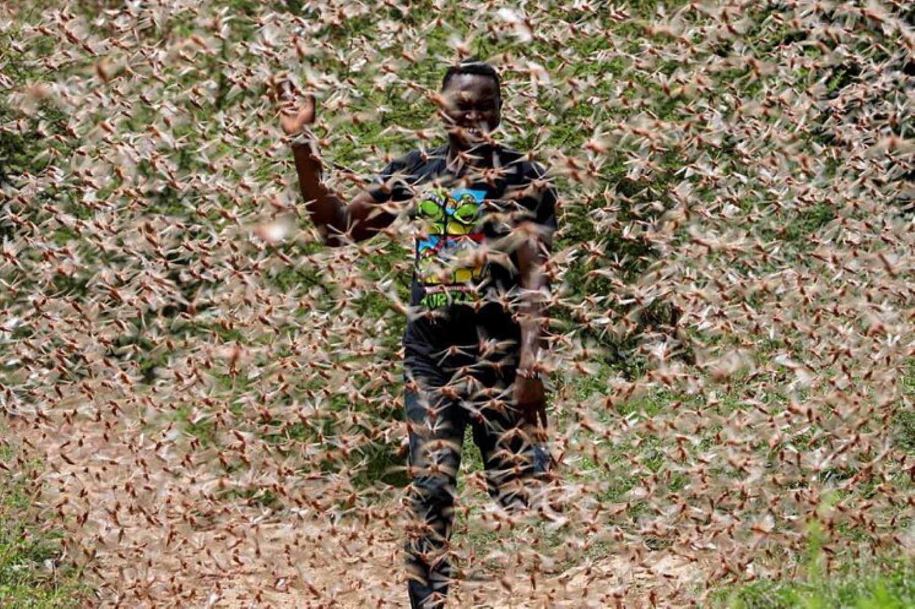 El Ministerio decidió anticiparse y poner en marcha un plan para enfrentar la plaga y adoptar medidas de control contra la nube de langostas. Foto referencial: INTERNET