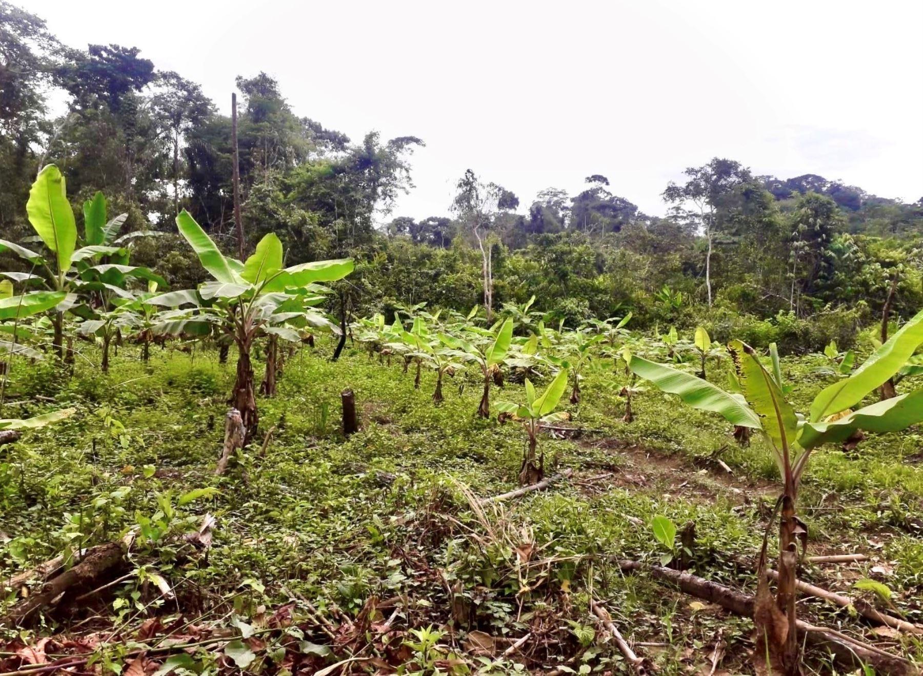 Especialistas de la Universidad Nacional San Antonio Abad del Cusco inician investigación para promover el plátano como cultivo alternativo en la zona de amortiguamiento del Parque Nacional del Manu, en Madre de Dios. ANDINA/Difusión