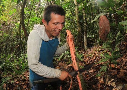 La uña de gato, una especie típica de los bosques tropicales peruanos, es utilizada por las comunidades indígenas para fines medicinales.