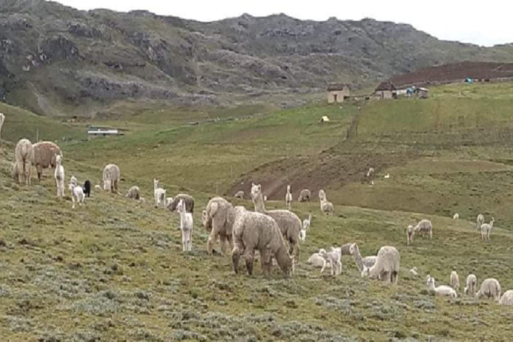 Durante los últimos días, las poblaciones de camélidos sudamericanos registraron abortos de alpacas gestantes y muertes de crías por hipotermia, específicamente en la localidad de la sierra sur de Pisacoma (Puno),