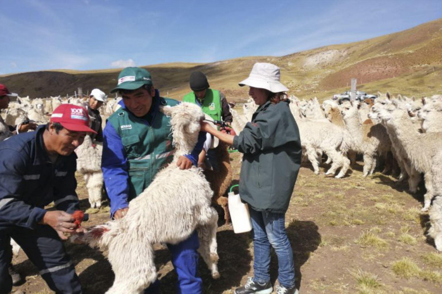 Agro Rural entregará 1,280 kits veterinarios en 14 distritos de 5 provincias apurimeñas. Foto: ANDINA/Difusión