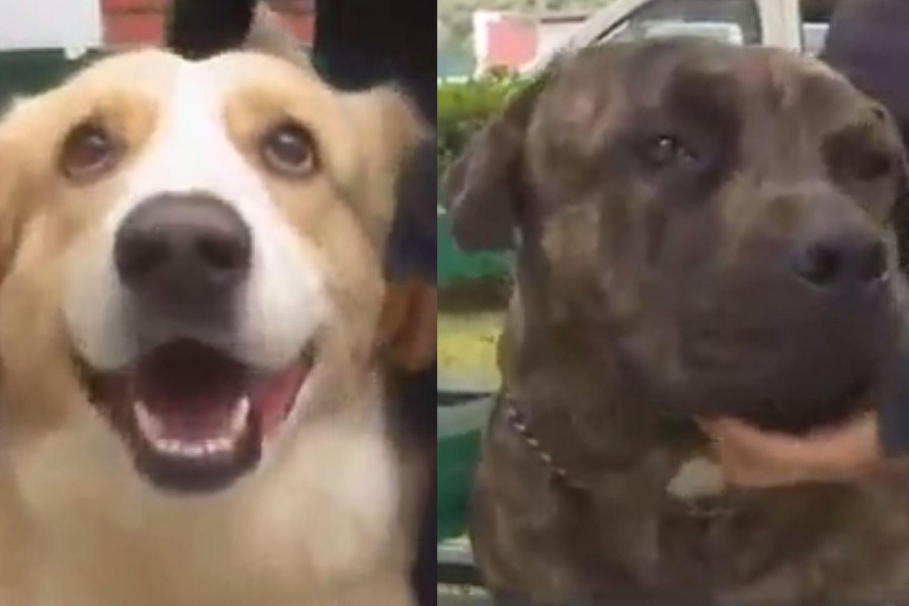 """""""Covid"""" y """"Pandemius"""" son canes rescatados por la Municipalidad de Surco que busca promover la adopción responsable. ANDINA/Internet"""