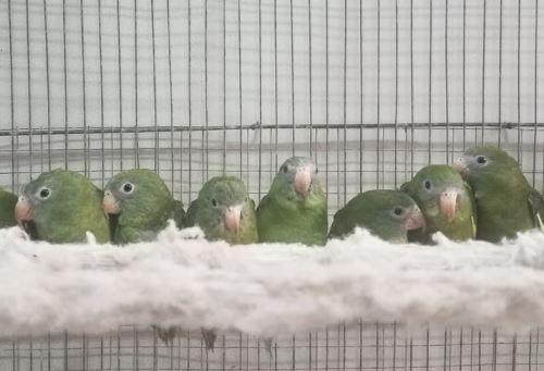 En tiempos de pandemia, el tráfico de fauna silvestre hace mayor uso de las redes sociales para comercializar especies de procedencia ilegal. Así lo comprobó la Policía Nacional del Perú que, gracias a un trabajo articulado con el Servicio Nacional Forestal y de Fauna Silvestre (Serfor) y la Fiscalía Especializada en Materia Ambiental (FEMA) rescataron 10 aves ofertadas en las plataformas digitales.