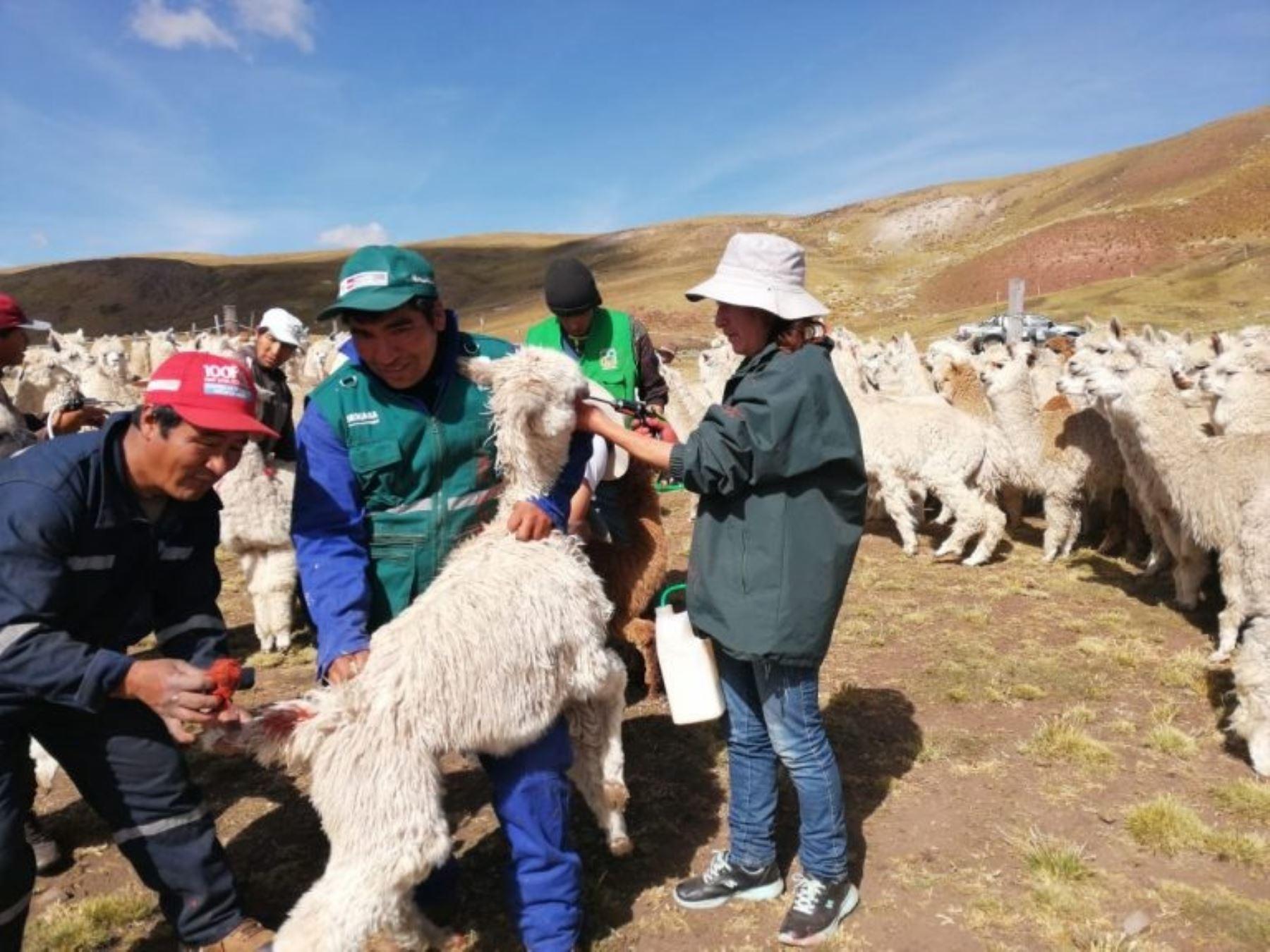 Agro Rural entrega kits veterinarios a ganaderos de la región Pasco para proteger al ganado ante las bajas temperaturas. ANDINA/Difusión