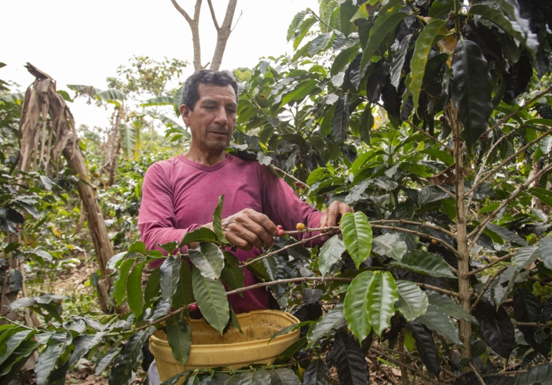 Resaltan el aporte del INIA en la mejora de la  productividad agrícola con semillas de alta calidad genética ANDINA/Difusión