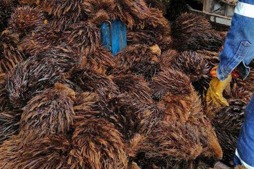 De 86 mil hectáreas productoras de palma en todo el país, Ucayali cuenta con 40 mil hectáreas procesadas en 10 plantas industriales.