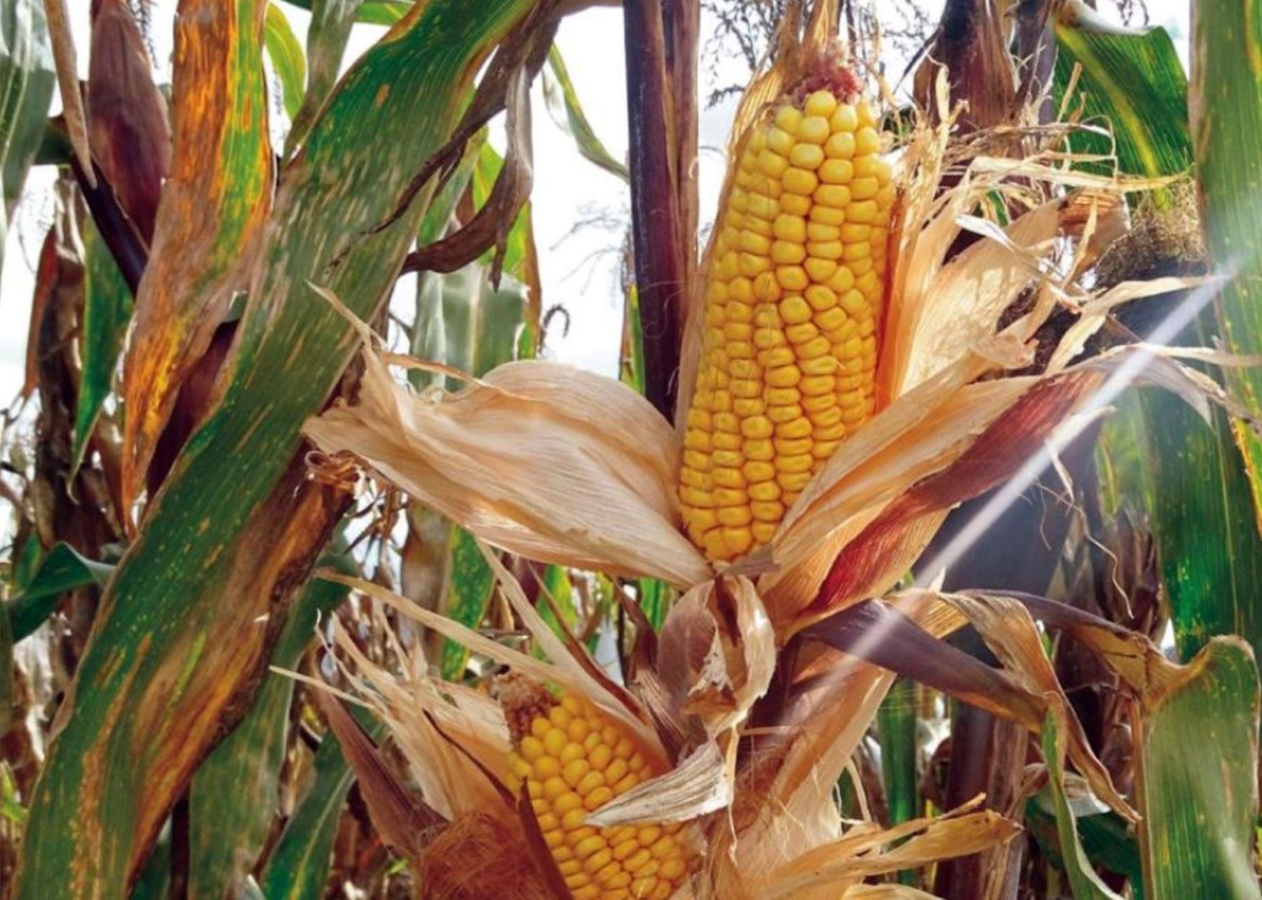 El INIA presentó su nueva variedad de maíz amiláceo, más grande, resistente a plagas y posee un gran potencial de producción por hectárea cultivada. ANDINA/Difusión