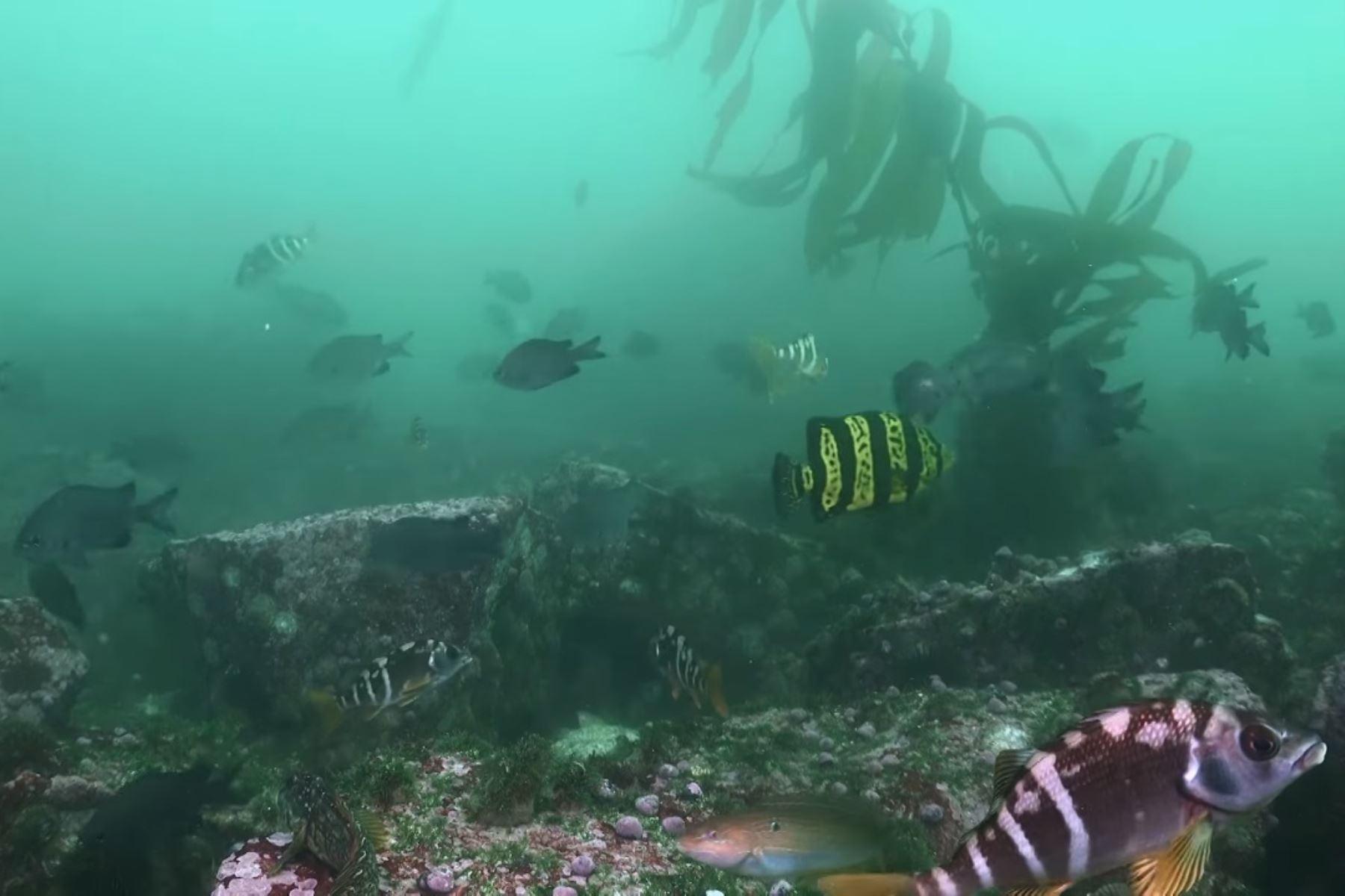 Conoce la variada fauna marina costera que vive en la Reserva Nacional de Paracas, región Ica. ANDINA/Difusión