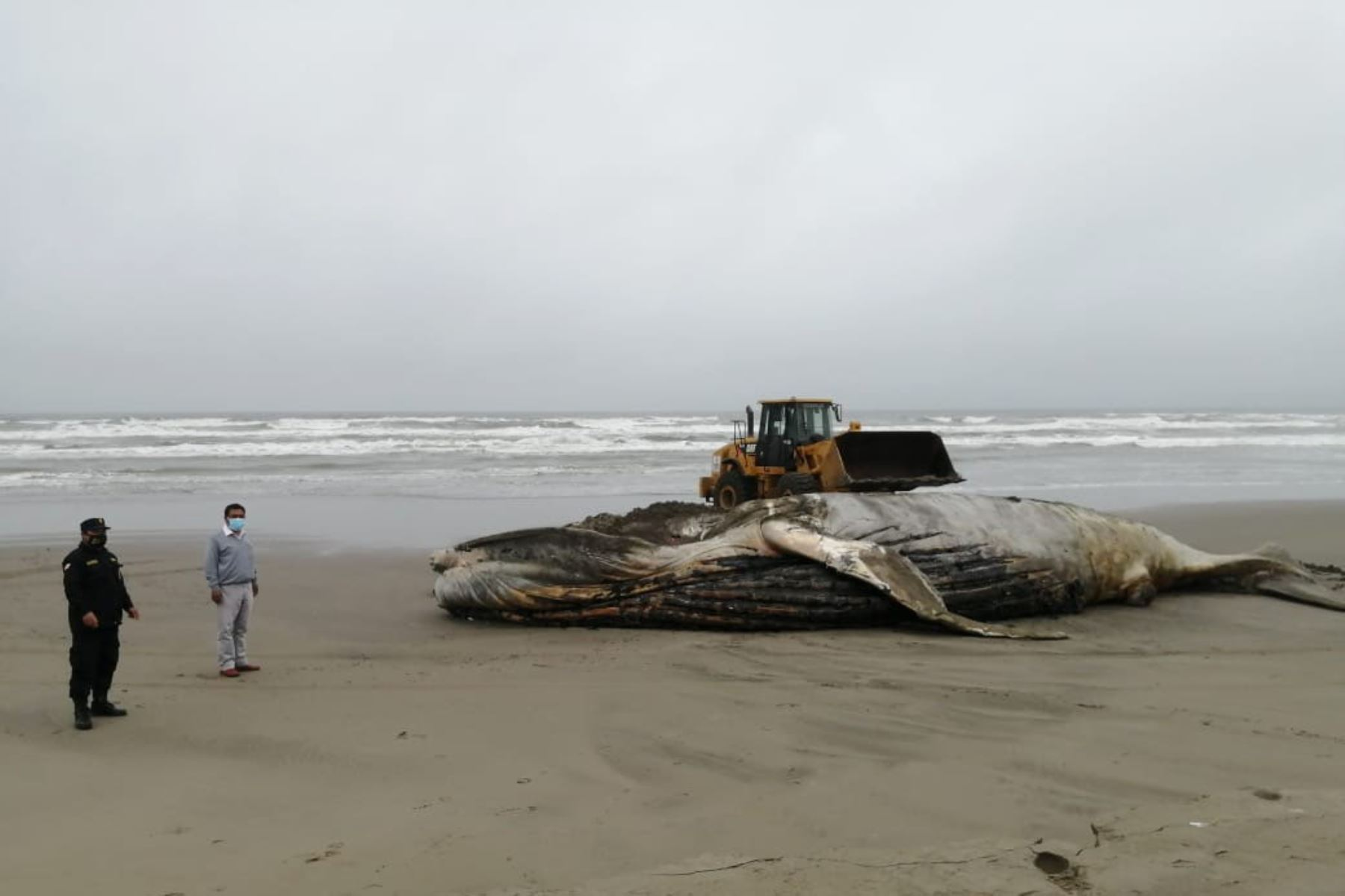 Ballena jorobada varada en el mar de Lambayeque se encontraba en avanzado estado de descomposición. Foto: ANDINA/Difusión