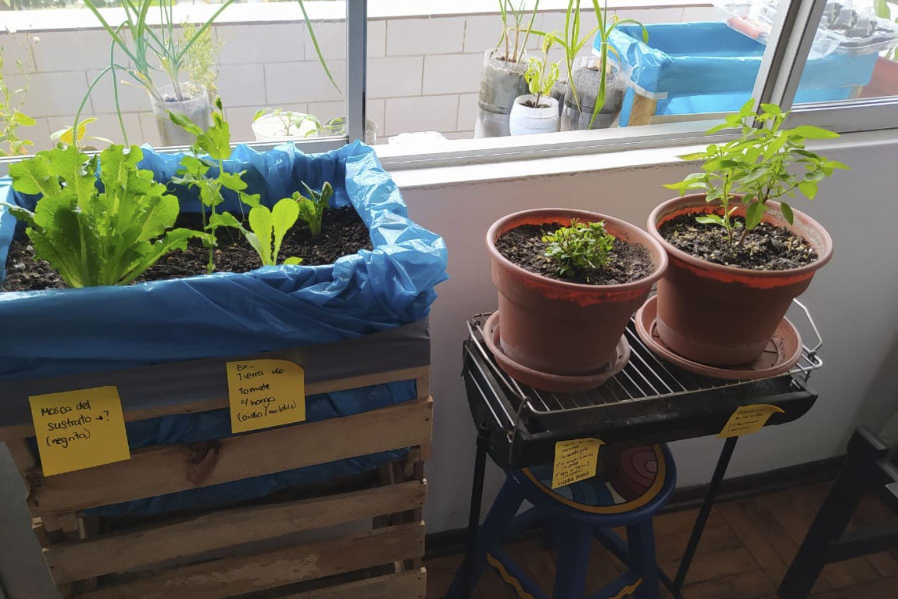 El programa virtual Espacios Verdes en Casa ofrece técnicas para cultivar y manejar diferentes tipos de plantas, métodos naturales para el control de plagas, arboricultura y apicultura urbana. ANDINA/Municipalidad de Lima