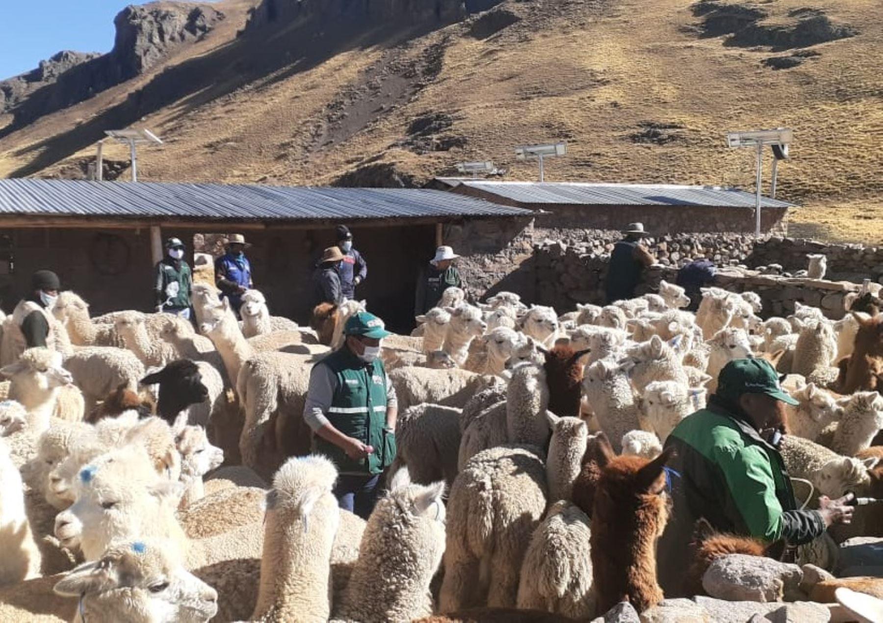 Agro Rural entregó kits veterinarios para proteger a más de 40,000 cabezas de ganado ante las bajas temperaturas en las provincias de Canchis y Paucartambo, región Cusco.