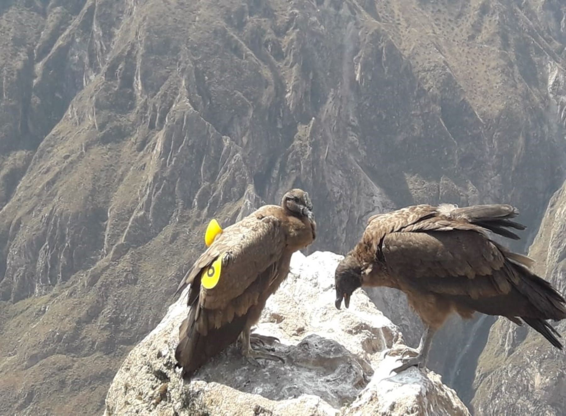 """Especialistas del Serfor destacaron los resultados alcanzados tras la liberación del cóndor andino el año pasado. """"Wayra"""" ahora interactúa con otros ejemplares y realiza vuelos más extensos."""