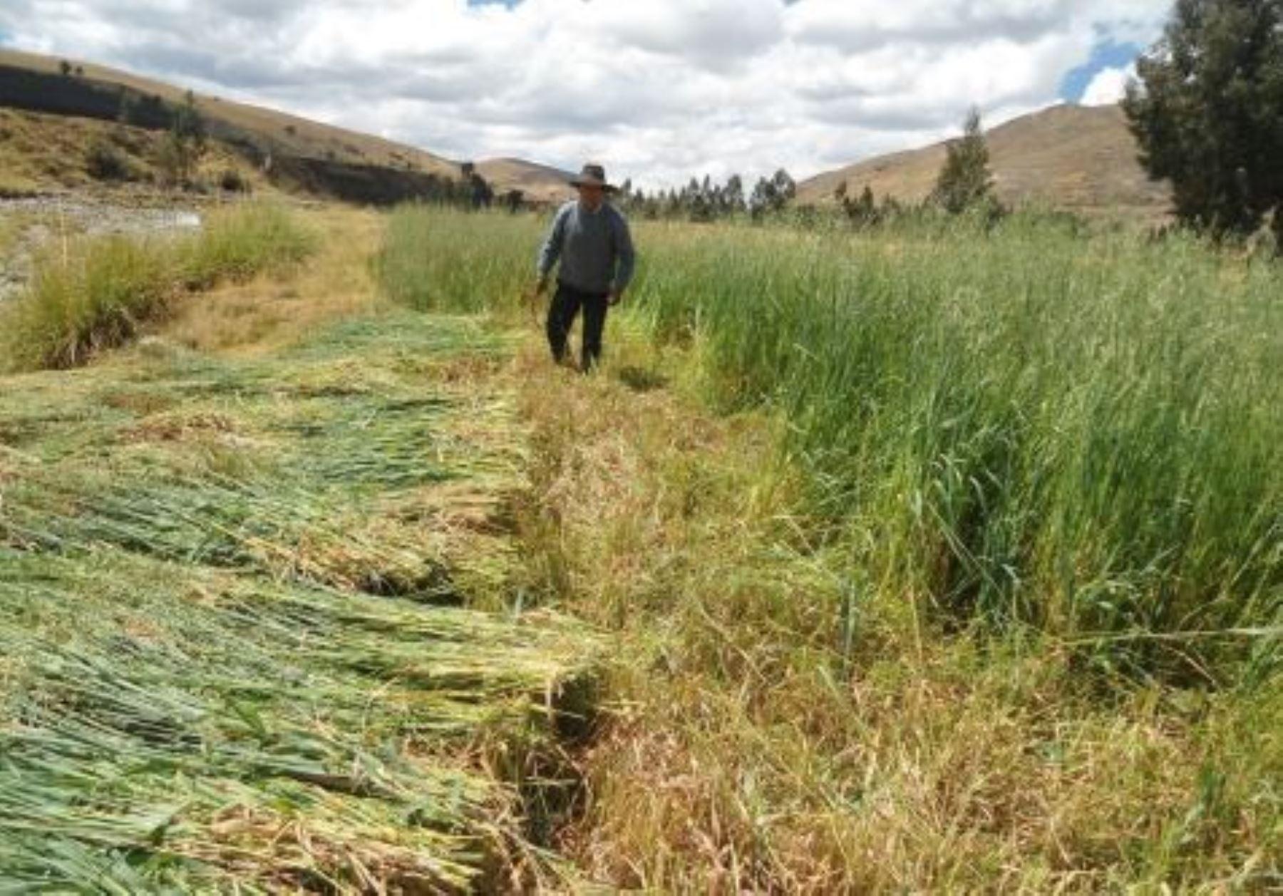 Campaña de siembra de pastos y forrajes 2020-2021 beneficiará a más de 10,000 familias ganaderas de Cajamarca. ANDINA/Difusión