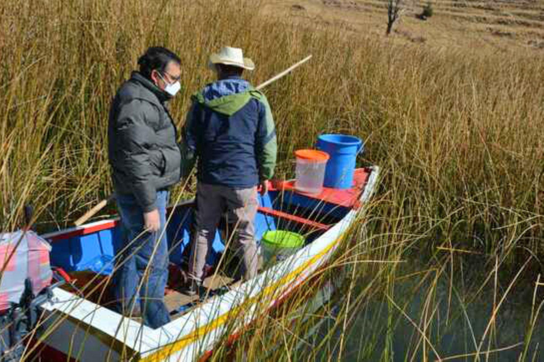 El Proyecto Especial Binacional Lago Titicaca siembra alevines de mauri en las islas de Ccana y Suana. Foto: ANDINA/Difusión