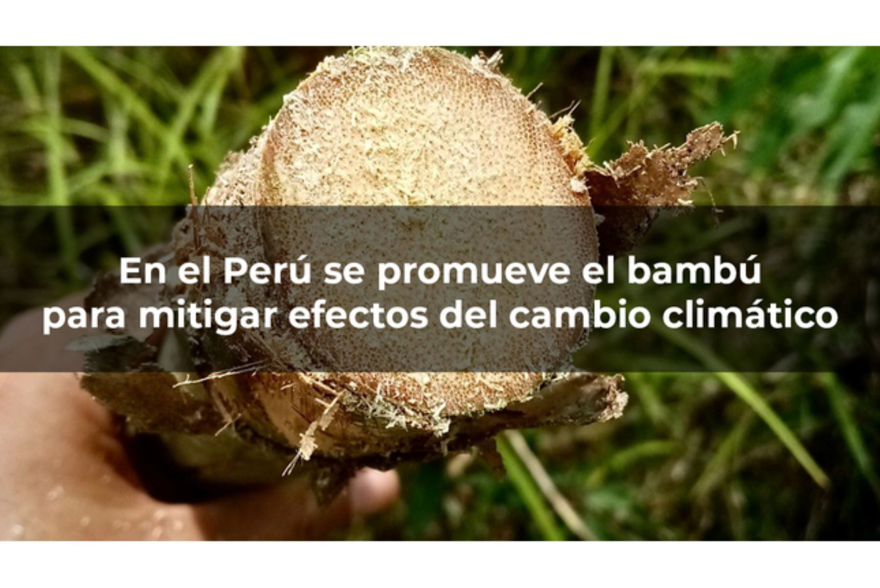 El bambú es un recurso presente en las regiones tropicales y subtropicales del mundo. Foto: ANDINA/Difusión