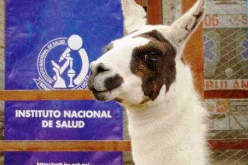 INS desarrolla tratamiento contra el covid-19 con nanoanticuerpos de una llama peruana. Foto: ANDINA/Difusión.