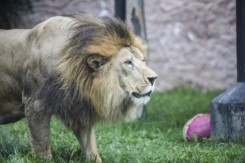Día internacional del León