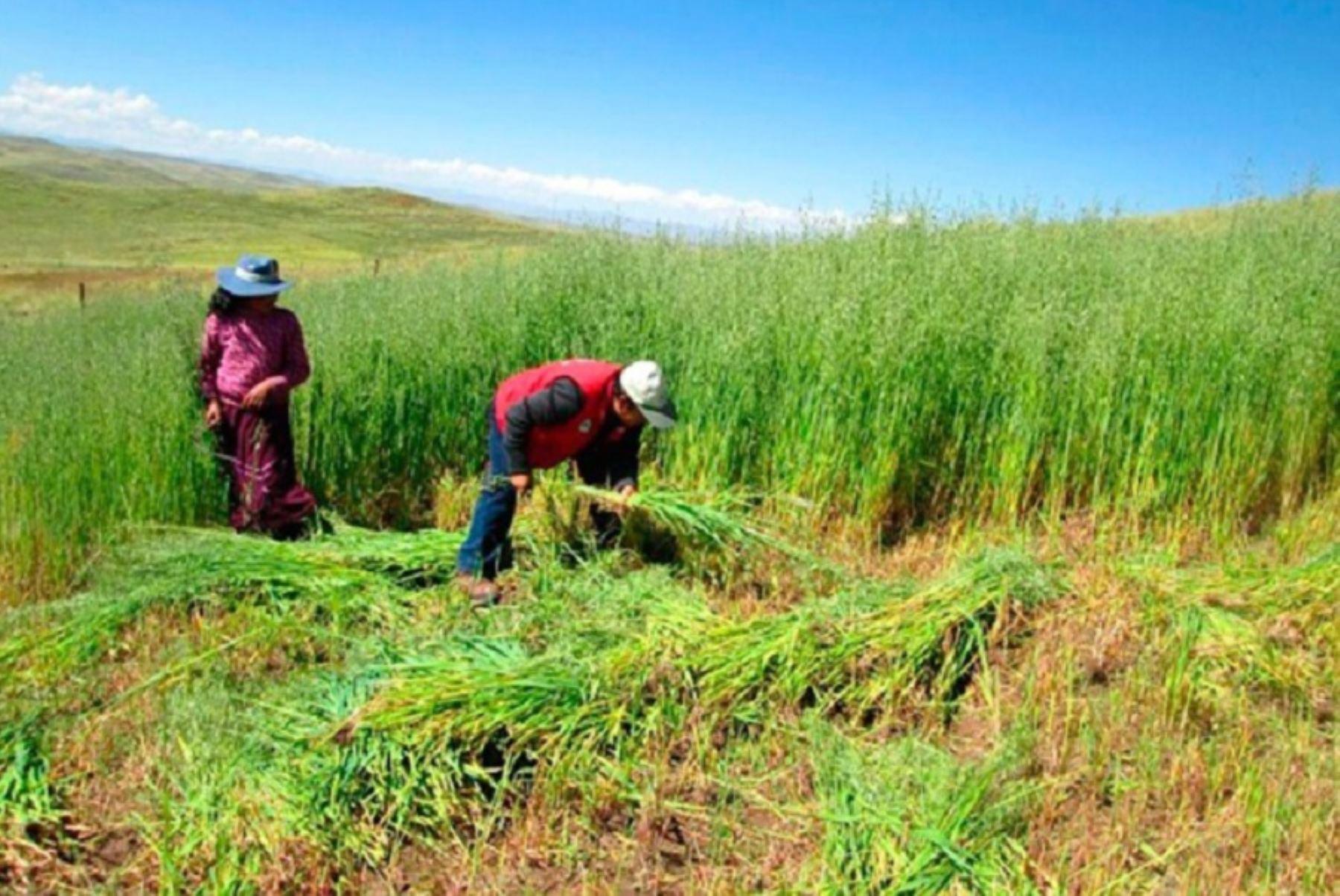La campaña de siembra de pastos y forrajes de Agro Rural es una actividad que se ejecuta todos los años a escala nacional. Foto: ANDINA/Difusión