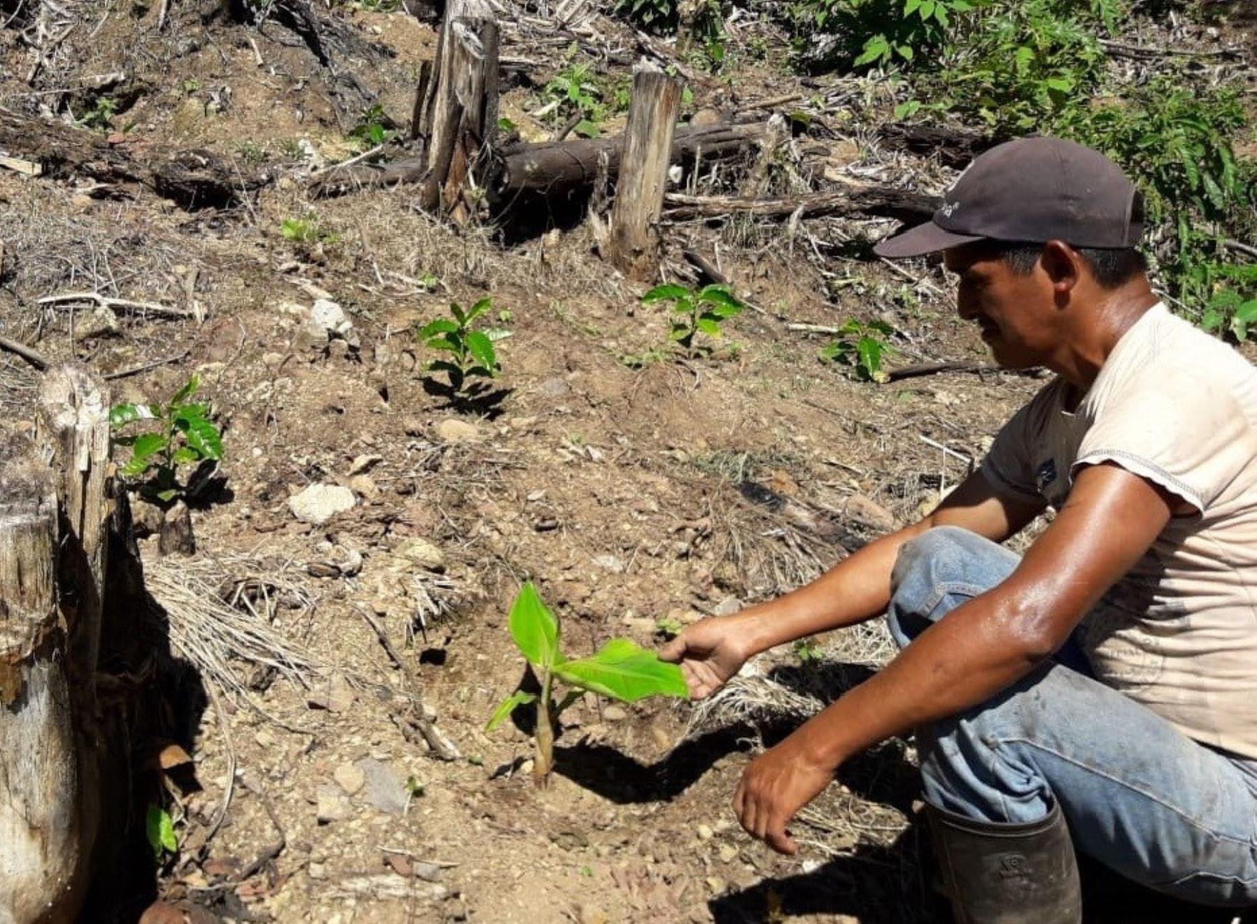 Agricultores del Vraem producirán café de alta calidad, gracias a la variedad desarrollada por el Instituto Nacional de Innovación Agraria (INIA) ANDINA/Difusión