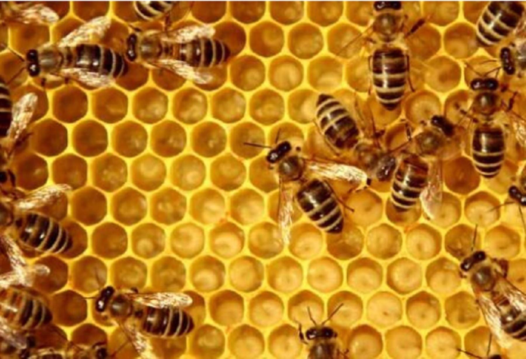 A escala nacional existen más de 40,000 pequeños productores apícolas, quienes logran una producción de miel de abeja que alcanza 2,314 toneladas anuales, con un promedio de 10.8 kilos por colmena, informó el Ministerio de Agricultura y Riego. ANDINA/Difusión