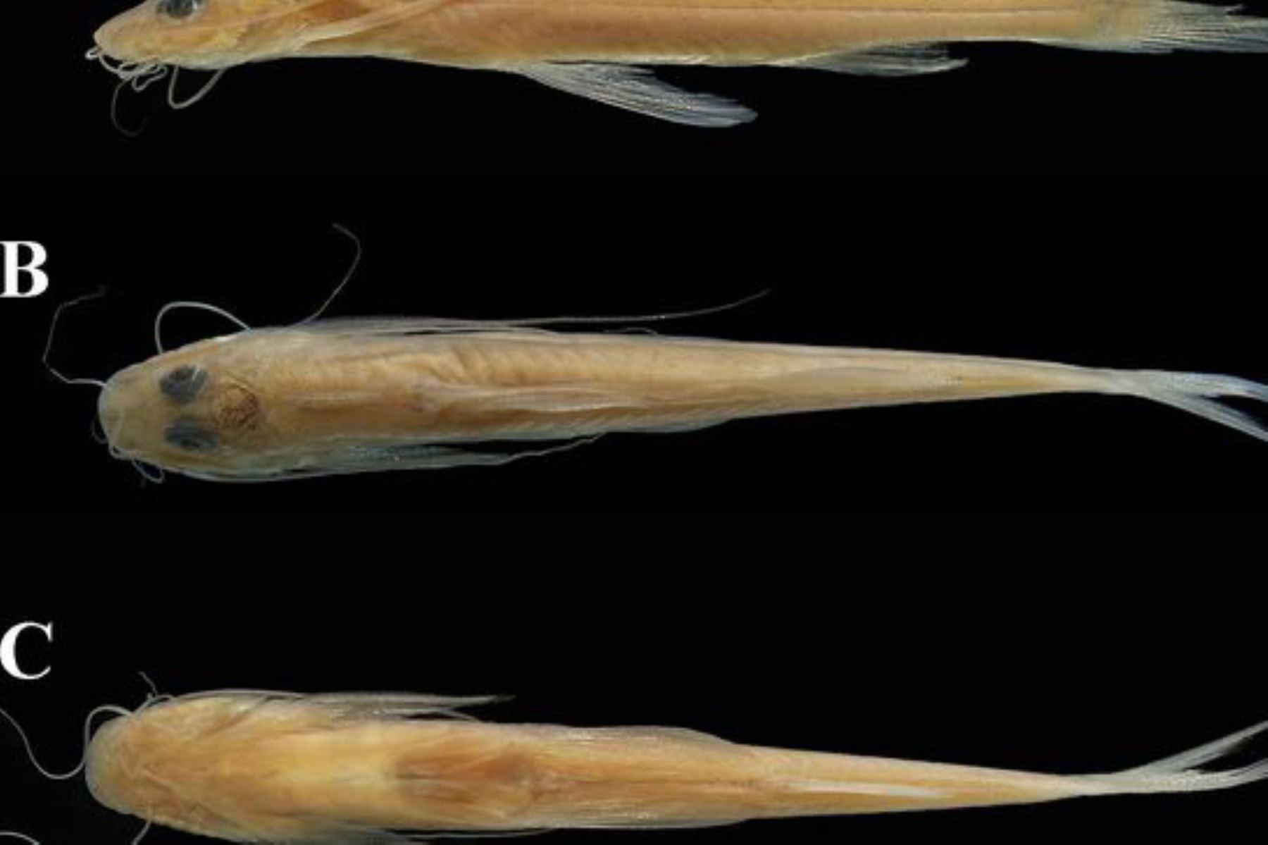 """Una nueva especie de """"bagre menudo"""" fue descubierta en los ríos Putumayo y Nanay, en la cuenca del río Amazonas, en la región Loreto, y nombrada en homenaje al Parque Nacional Yaguas. Foto: Sernanp"""