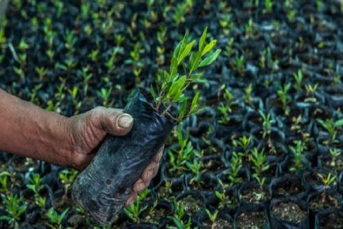 Gracias al apoyo del Proyecto Merese-FIDA del Minam se está logrando reforestar el Bosque de Lloclla