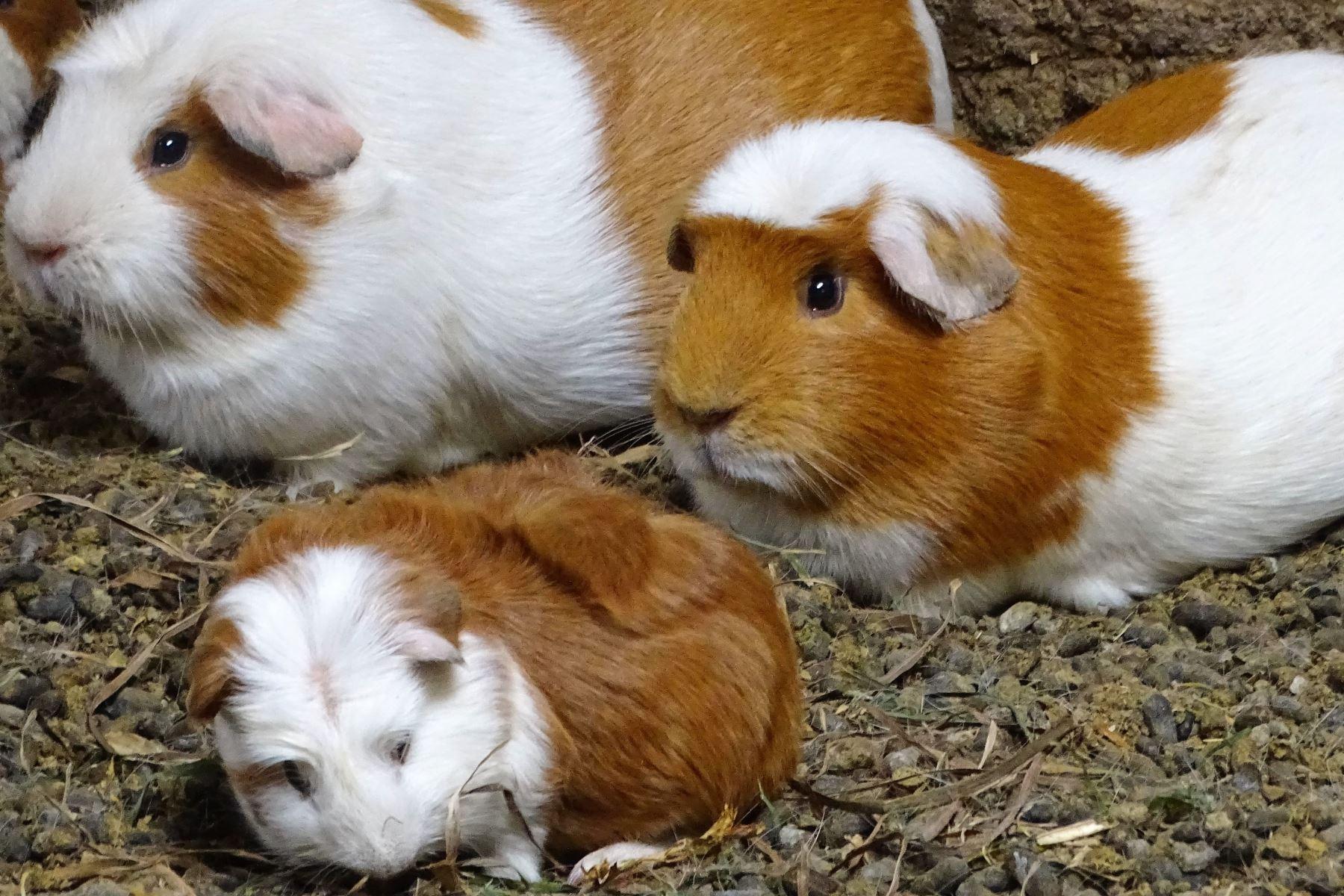 la carne de cuy contiene 20.3 % de proteína y supera a la carne de ave, vacuno, ovino y porcino. ANDINA