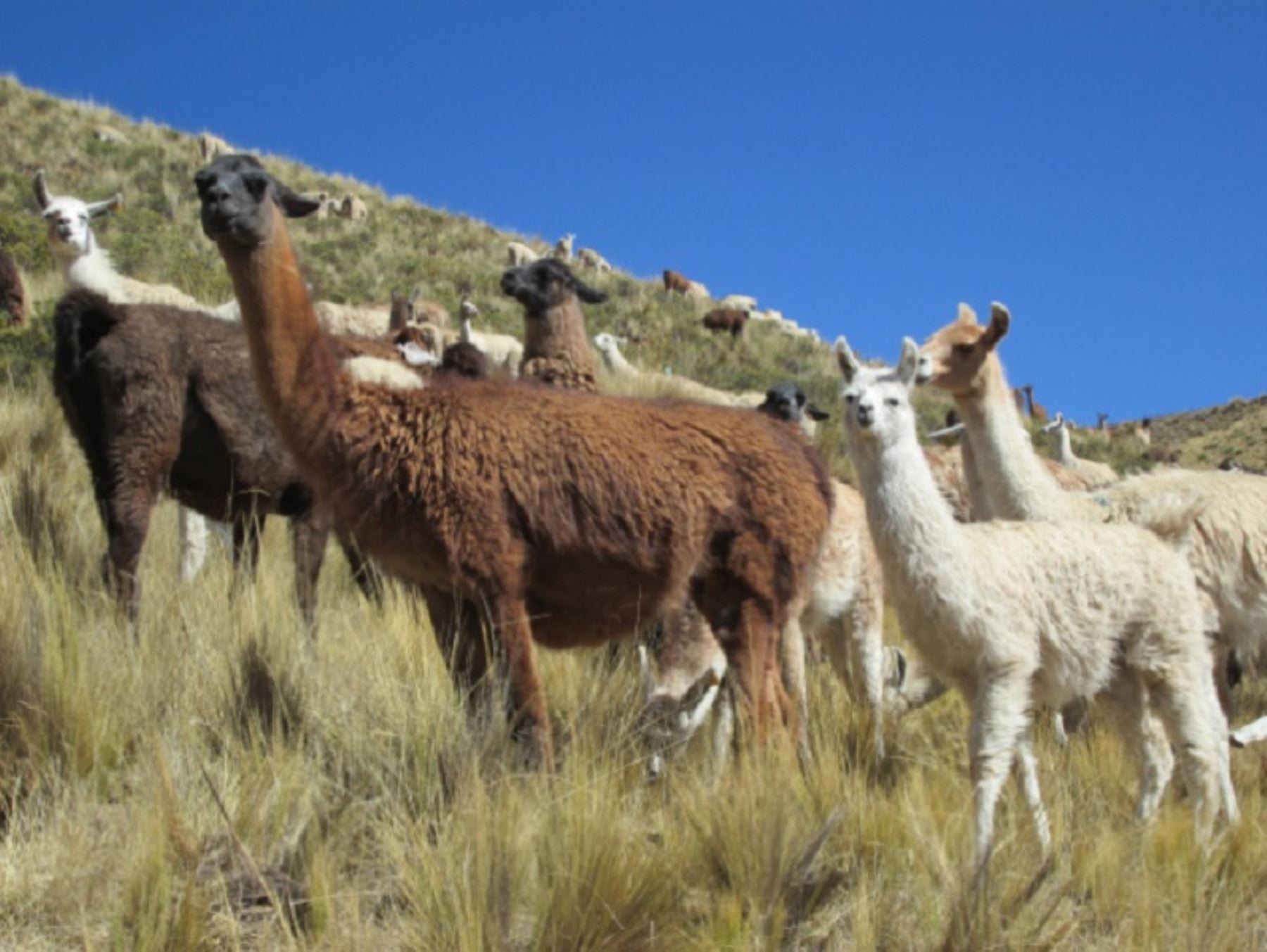 Investigadores del Instituto Nacional de Innovación Agraria (INIA) del Perú han descubierto que la leche de llama, camélido oriundo del Perú, es altamente nutritiva y supera, por ejemplo, en proteínas a la leche de vaca. Foto: INIA